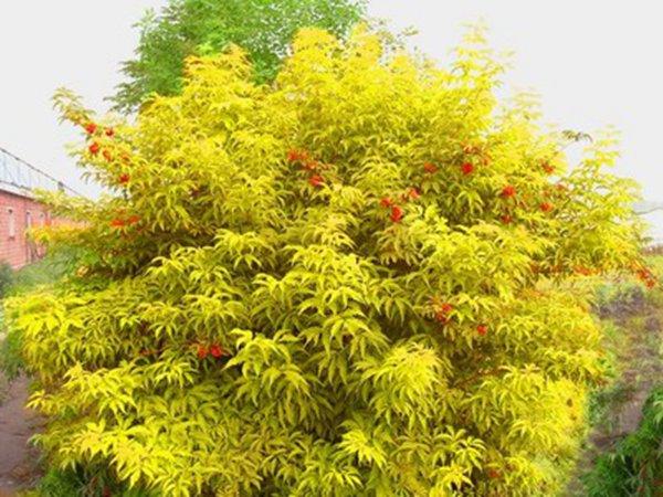红叶小檗价格_【金叶莸】金叶莸价格_图片-河北百盛苗木