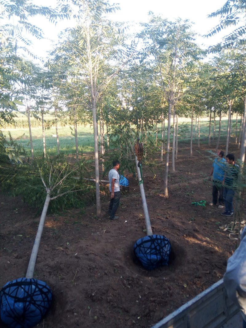 工人们正在起挖千头椿